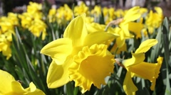 Stock Video Footage of Beautiful yellow daffodils on a sunny Spring day, footage