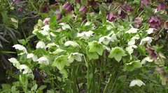 Stunning White Hellebore Flowers Blowing in Spring Breeze Stock Footage