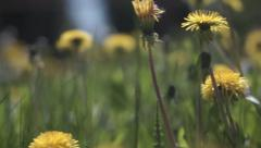 Beautiful flowers with stems of dandelions Stock Footage