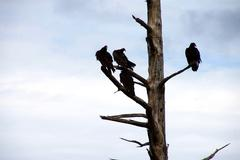Turkey vultures on conifer snag - stock photo