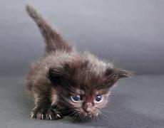 Small black kitten walking Stock Photos
