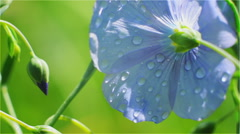 Blue Flower in the Morning Sun with Bud Stock Footage
