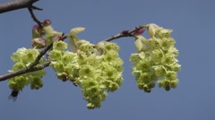 Beautiful Spring Catkin Tree Flowers Blooming in Spring Backdrop Blue skies - stock footage