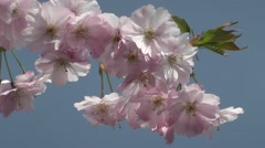 Wedding Blossom Flowers Against Blue Skies in Spring Gardens Stock Footage