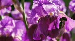 iris. flowers - stock footage