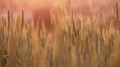 4k, spikelets of wheat at sunset  2 Stock Footage