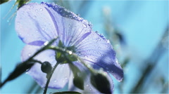 Back Blue Flower in the Morning Sun with Dew Closeup Stock Footage