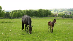 Horses on the German countryside in spring day. Stock Footage