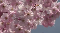 Beautiful Sunrise Spring Cherry Blossom Flowers Blooming in Wedding Gardens Stock Footage