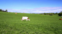 Cows on the field. Stock Footage
