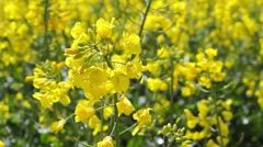 Spring fields of rapeseed flowers close up, HD footage Stock Footage