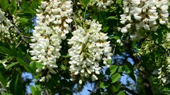 Beautiful black locust flowers swaying in breeze with bee - stock footage
