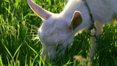 Goat on the meadow Stock Footage