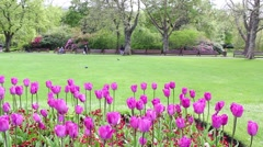 Bright violet tulips in the park on a Spring day, footage Stock Footage