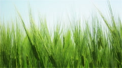Peaks of the Green Barley Swaying in the Wind on a Sunny Day in the Morning Stock Footage