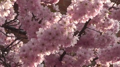 Beautiful Sunrise Spring Cherry Blossom Flowers Blooming in Spring Morning Light Arkistovideo