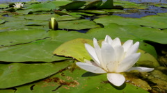 White lily in the Danube delta Stock Footage