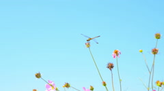 Dragonfly and cosmos - stock footage