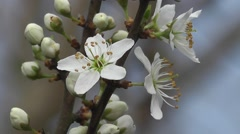 Stock Video Footage of Macro of Spring Hedge Thorn White Blossom Flowers in Bud