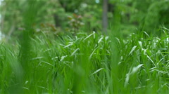Spring grass swaying in the wind - stock footage