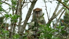 Patas Monkey, 4K Stock Footage