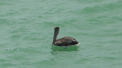 Brown pelican swimming Stock Footage