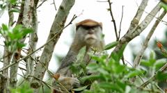 Patas Monkey, 4K Stock Footage