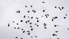 Flock of Birds Circling in the Sky HD Pro Stock Footage