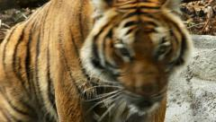 Tiger, Malayan Tiger Stock Footage