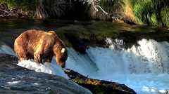 Alaskan Brown Bear on Top of Falls in Nice Evening Light - stock footage
