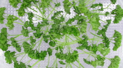 Time-lapse of drying parsley spice Stock Footage