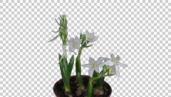 Time-lapse of opening Ornithogalum Balansae flower Stock Footage