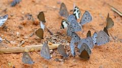 Butterfly Group for Food On the surface sand Stock Footage
