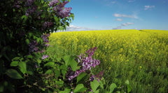 Lilac pink Syringa vulgaris bush blossoms and rapeseed field. 4K Stock Footage