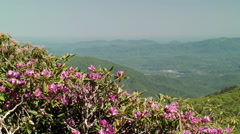 Rhododendron bloom pink blossom mountain ridges Stock Footage