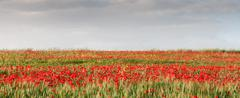 Field full with red  poppie anemones. - stock photo