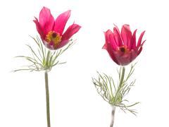 Bright pink flowers Pulsatilla patens Stock Photos