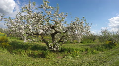 Beautiful agriculture blossoming apple tree orchard panorama. Timelapse 4K Stock Footage