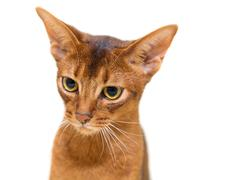 Beautiful portrait Abyssinian cat on a white background Stock Photos