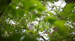 Young night owl sitting very still in a tree Stock Footage