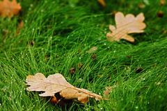 Dry oak autumn leaves on green grass Stock Photos
