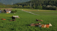 Cows laying down chewing cud in pastoral Austrian mountain valley meadow sundown Stock Footage