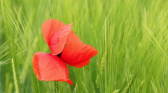 poppy flower closeup nature background - stock footage