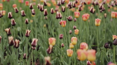 City flower bed of tulips Stock Footage