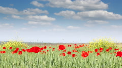Poppy flowers meadow nature landscape Stock Footage