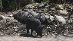 Wild Boar Pig In Nature Stock Footage