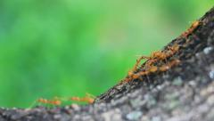 Marching Ants Stock Footage