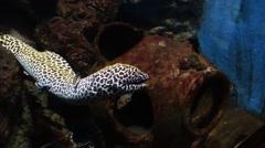 Moray leopard eel in aquarium Stock Footage