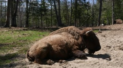 4K Buffalo Bison Resting in Nature Stock Footage