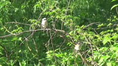 a couple of shrikes - stock footage